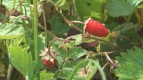 Lösa jordgubbar. arkivfilmer