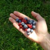 Lösa jordgubbar för en handfull på handen av en kvinna på bakgrunden av gräs arkivbilder