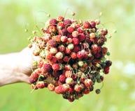 Lösa jordgubbar i en hand Fotografering för Bildbyråer