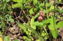 Lösa jordgubbar i gräset Arkivbilder