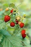 Lösa jordgubbar på äng Royaltyfri Foto