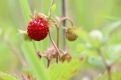 Lösa jordgubbar - skogprodukter Royaltyfria Bilder