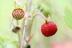Lösa jordgubbar - skogprodukter Arkivbild