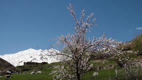Lösa körsbärsröda blomningar under våren arkivfilmer
