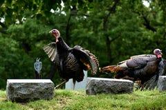 Lösa kalkon i kyrkogård i sjöGenève, Wisconsin royaltyfri foto
