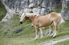 Lösa kastanjebruna hästar, Dolomites, Italien Royaltyfri Foto