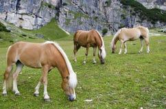 Lösa kastanjebruna hästar, Dolomites, Italien, Arkivbilder
