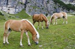 Lösa kastanjebruna hästar, Dolomites, Italien, Royaltyfria Foton