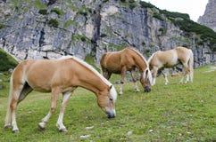 Lösa kastanjebruna hästar, Dolomites, Italien, Fotografering för Bildbyråer