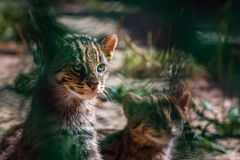 Lösa katter för stående, Felissilvestris Royaltyfri Foto
