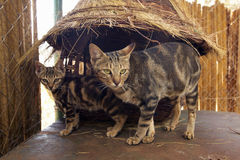 Lösa katter i djur lätthet av Nairobi, Kenya, Afrika på djurlivservicen för KWS Kenya Royaltyfria Bilder