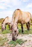 Lösa Konik hästar som mejar vegetationen parkerar in, Meijendel, Nederländerna arkivfoto
