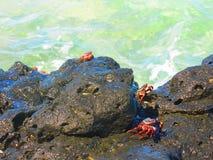 Lösa krabbor Arkivbilder