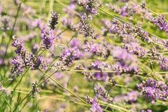 Lösa lavendlar i fältet, en solig dag Royaltyfri Bild