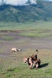 Lösa lejon i den Ngorongoro nationalparken, Tanzania. Royaltyfria Foton