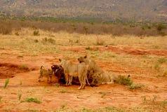 Lösa lejon på safari Arkivbild