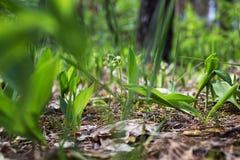 Lösa liljor i skogen arkivbild