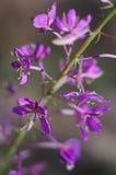 Lösa lilor blommar i skogslutet upp Royaltyfri Bild