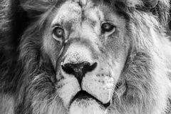 Lösa Lion King Feline In Safari arkivbilder