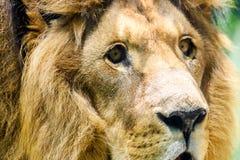 Lösa Lion King Feline In Safari royaltyfri fotografi