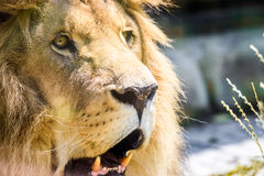 Lösa Lion King Feline In Safari royaltyfri bild