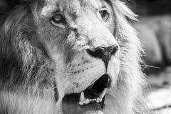 Lösa Lion King Feline In Safari royaltyfria foton