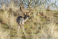 Lösa manliga dovhjortar som betar i holländskt dynområde på en brant dyn, sluttar royaltyfria bilder