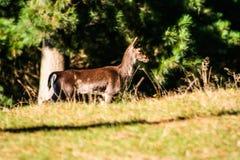 Lösa med- hjortar i en forst i Nya Zeeland royaltyfria foton