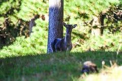 Lösa med- hjortar i en forst i Nya Zeeland arkivfoton