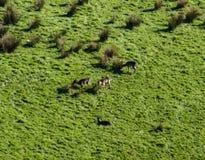 Lösa med- hjortar i en forst i Nya Zeeland royaltyfria bilder
