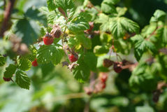 Lösa Montana Raspberries Royaltyfri Bild