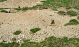 Lösa murmeldjur i den alpina ängen Arkivbild