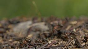 Lösa myror för närbild som svärmer runt om deras myrstackar Myrstack i skogen bland de torra sidorna Kryp som arbetar emmeten arkivfilmer
