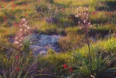 Lösa naturanemoner med gräslökar Royaltyfri Bild