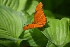 Lösa Organge Julia Butterfly som vilar på sidor Royaltyfria Foton