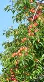 Lösa organiska plommoner på en filial Royaltyfria Foton