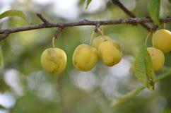 Lösa organiska plommoner på en filial Royaltyfri Foto