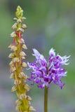 Lösa orkidér Fotografering för Bildbyråer