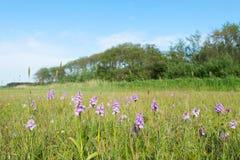 Lösa orkidér för fält Royaltyfri Foto