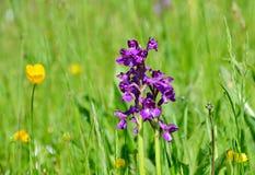 Lösa orkidér i ängen Arkivbild