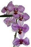 Lösa orkidér i vit och lilor Royaltyfri Bild