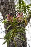 Lösa orkidér på träd Arkivfoton