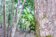 Lösa orkidér på träd i rainforest Fotografering för Bildbyråer