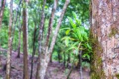 Lösa orkidér på träd i rainforest Royaltyfria Foton