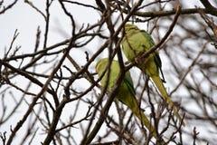 Lösa parakiter Hyde Park London Arkivbild