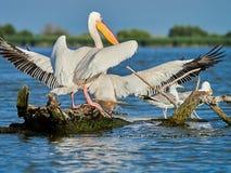 Lösa pelikan i Donaudeltan i Tulcea, Rumänien royaltyfri bild
