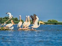 Lösa pelikan i Donaudeltan i Tulcea, Rumänien arkivfoton