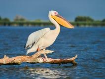 Lösa pelikan i Donaudeltan i Tulcea, Rumänien fotografering för bildbyråer