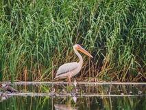 Lösa pelikan i Donaudeltan i Tulcea, Rumänien arkivbild