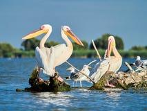 Lösa pelikan i Donaudeltan i Tulcea, Rumänien arkivfoto